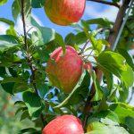 Apple-Bloom-5